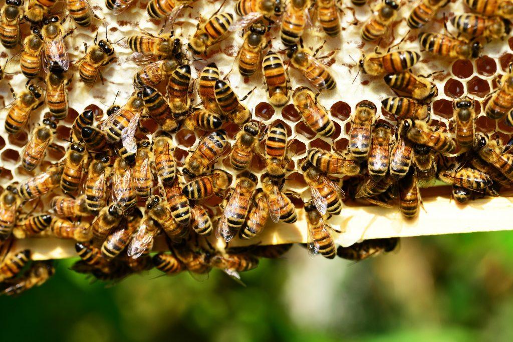 Bees-пчели-медът