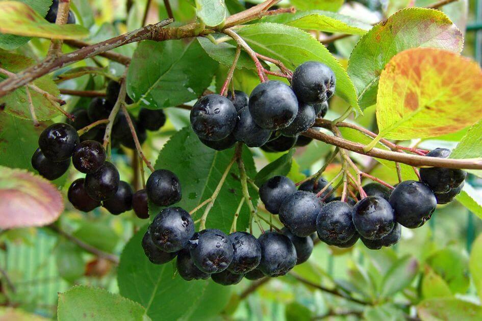 Клонче арония и плодове арония