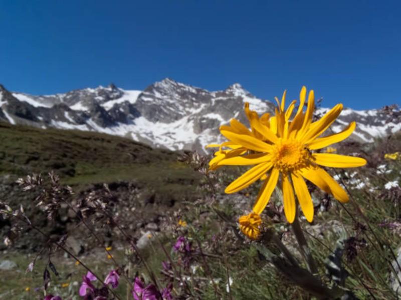 Билка Арника в планината