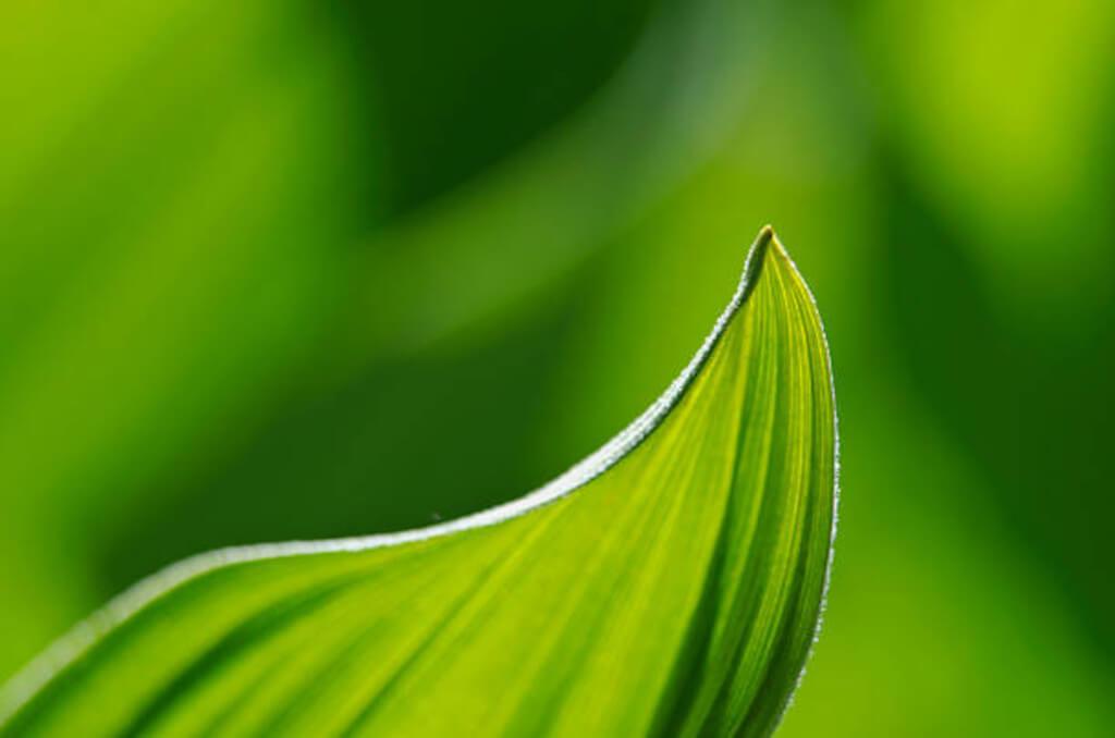 Портрет на листо от Чемерика