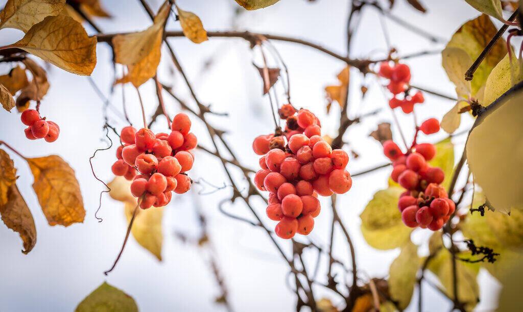 Плодове Шизандра на дърво