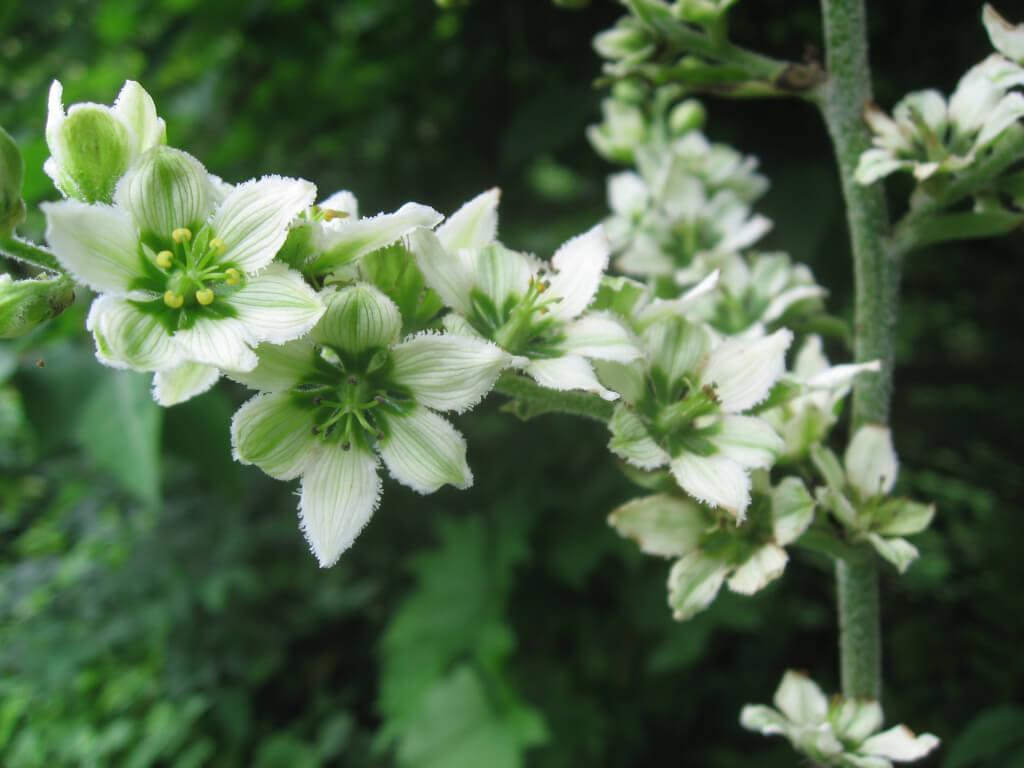 Чемерика цветя