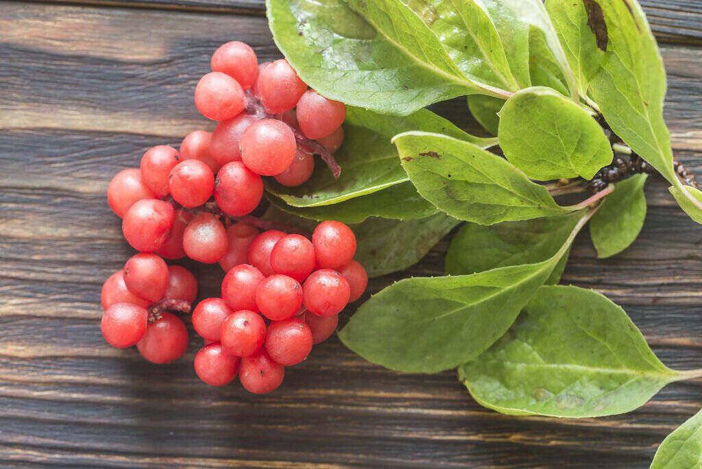 Шизандра плодове и листа