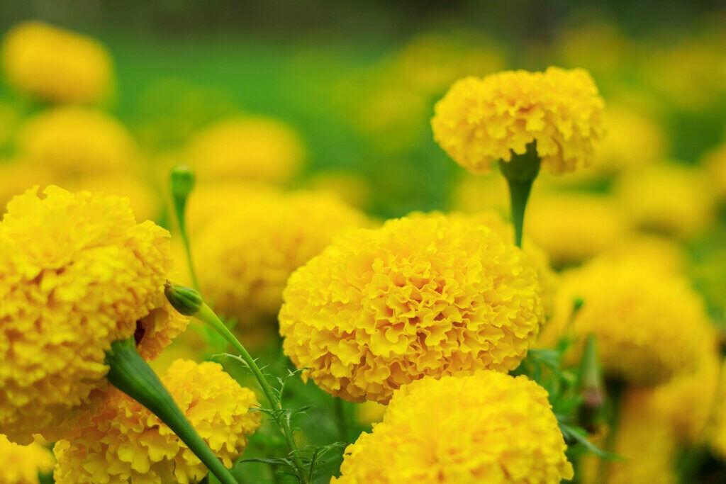 Жълти цветя Турта