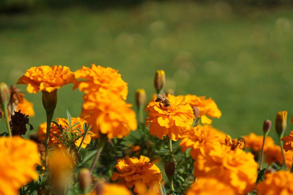 Пчела събира сок от Турта
