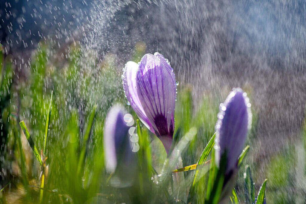 Цвете Перуника