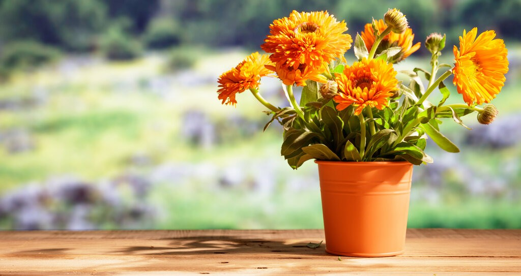 Саксия с цветя Невен